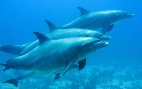 Delphine bei Abu Nuhas