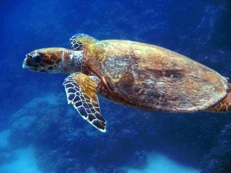 Echte Karettschildkröte (Eretmochelys imbricata)