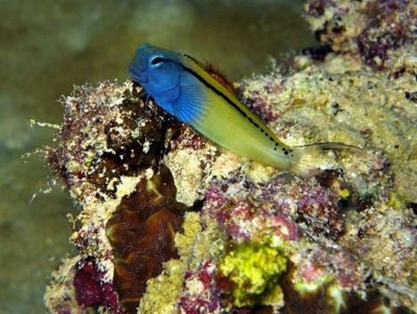 Schwarzstreifen-Schleimfisch (Ecsenius gravieri)