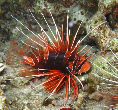 Strahlen-Feuerfisch (Pterois radiata)