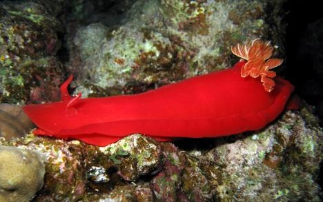 Spanische Tänzerin (Hexabranchus sanguineus)